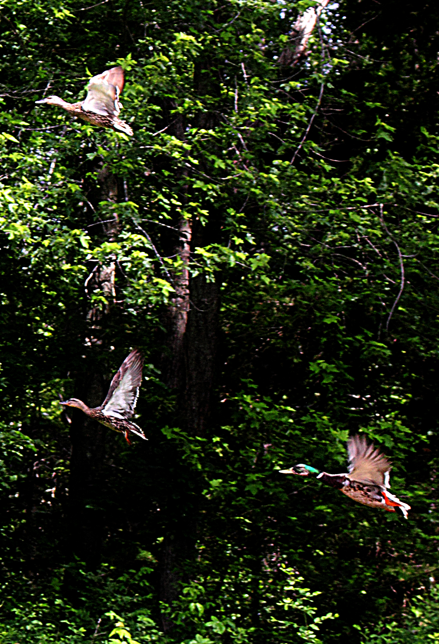 Figure 1 - Ducks taking flight, Concord, MA (c) DE Wolf 2013