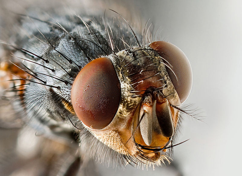 Compound Eye of the House Fly