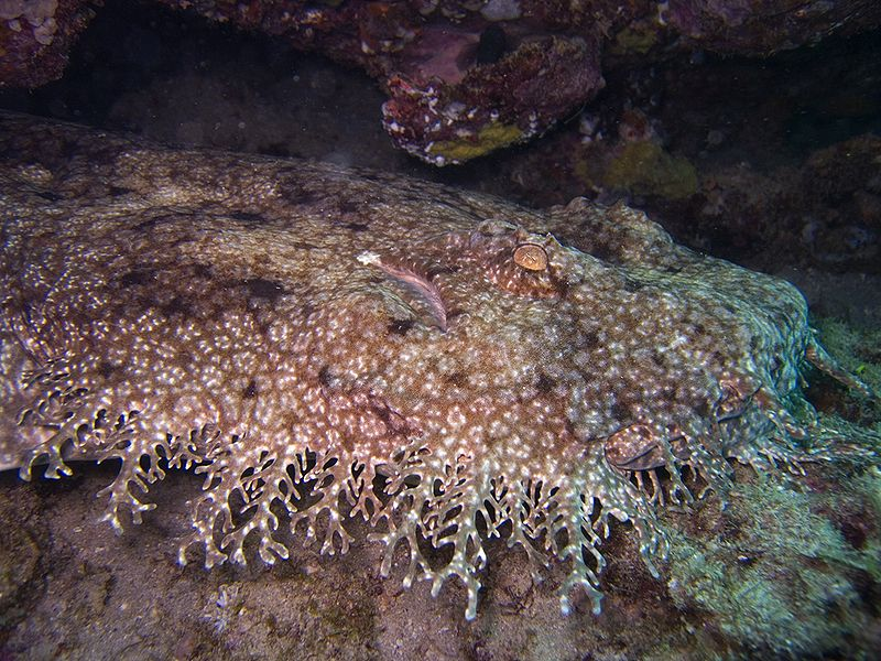 Figure 1 - Tasseled wobbegong shark, from the Wikimedia Commons, original image by Jon Hanson and reproduciced under creative commons license.