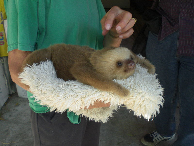 Rescued baby sloth to be returned to the wild - but not so fast. From the Wikimedia Commons, original image uploaded by Ken Mayer creative commons license.