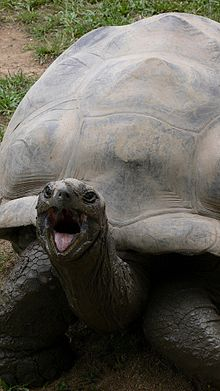 Figure 1 - Harriet the Galapagos Tortoise at the Australia Zoo, sticking out her tongue.  Image by Cory Doctrow and from the Wikimedia Commons under creative commons license.