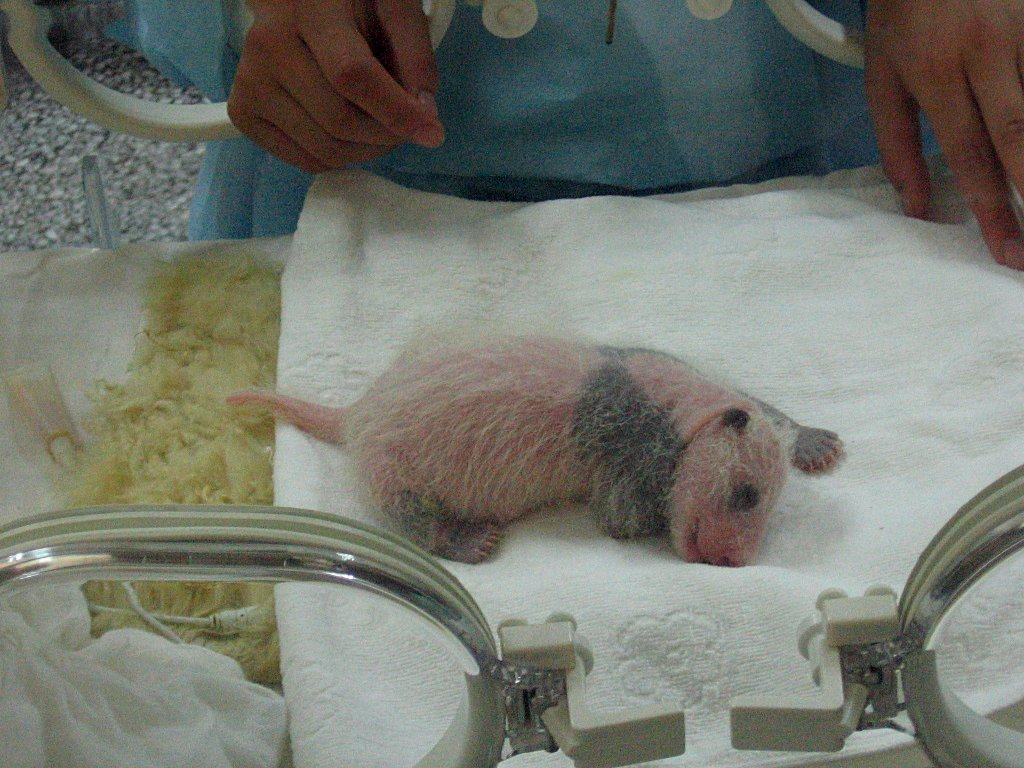 Figure 1 - 1 week old giant panda cub.  Image from the Wikipedia by Colegota and in the public domain under common attribution license.