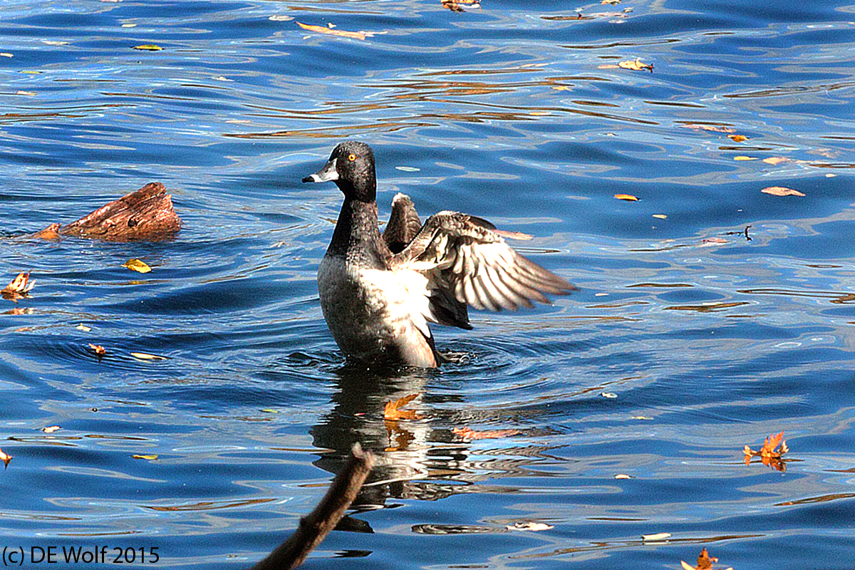 Figure 1 - Wing flapping ring-necked duck. Fresh Pond Reservation, Cambridge, MA, October 30, 2015. (c) DE Wolf 2015.