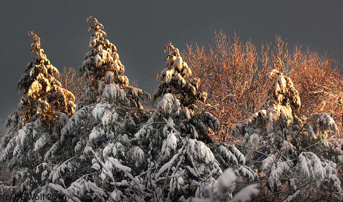 Snow covered pines at sunset, Sudbury, MA. (c) DE Wolf 2016.