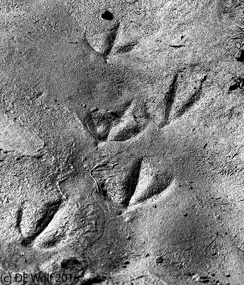 Figure 1 - Goose tracks in the spring mud. Concord, MA. (c) DE Wolf 2016.