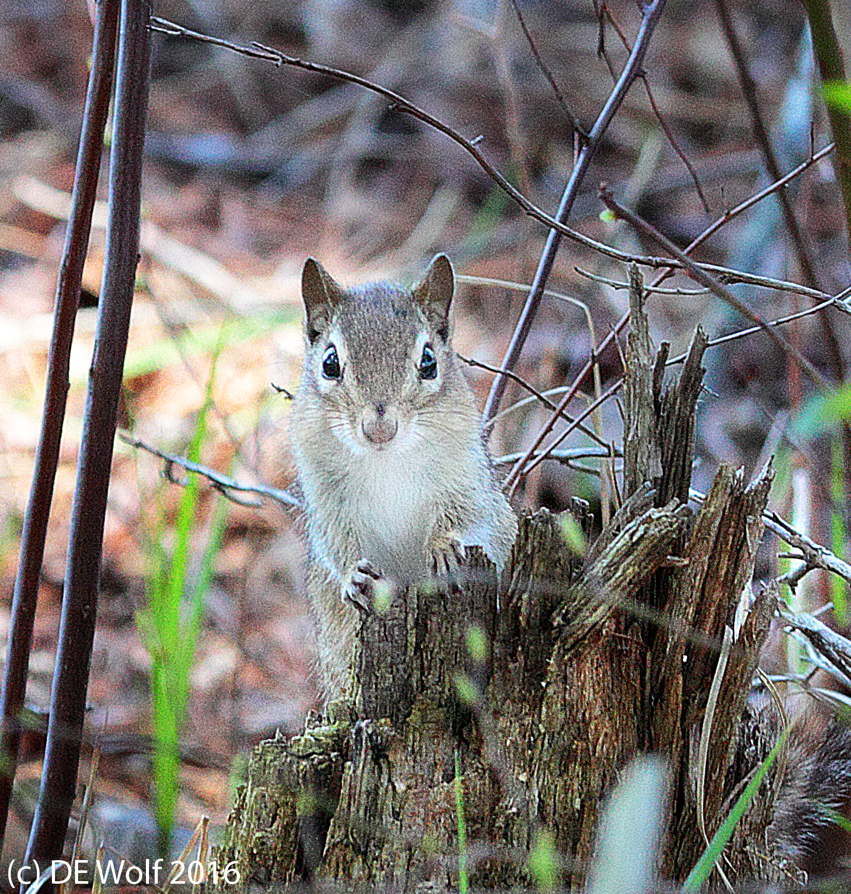 Figure 1 - Eastern chipmunk - Tamias striatus, Assabet River Wildlife Refuge, Maynard, MA, April 18, 2016. (c) DE Wolf 2016.