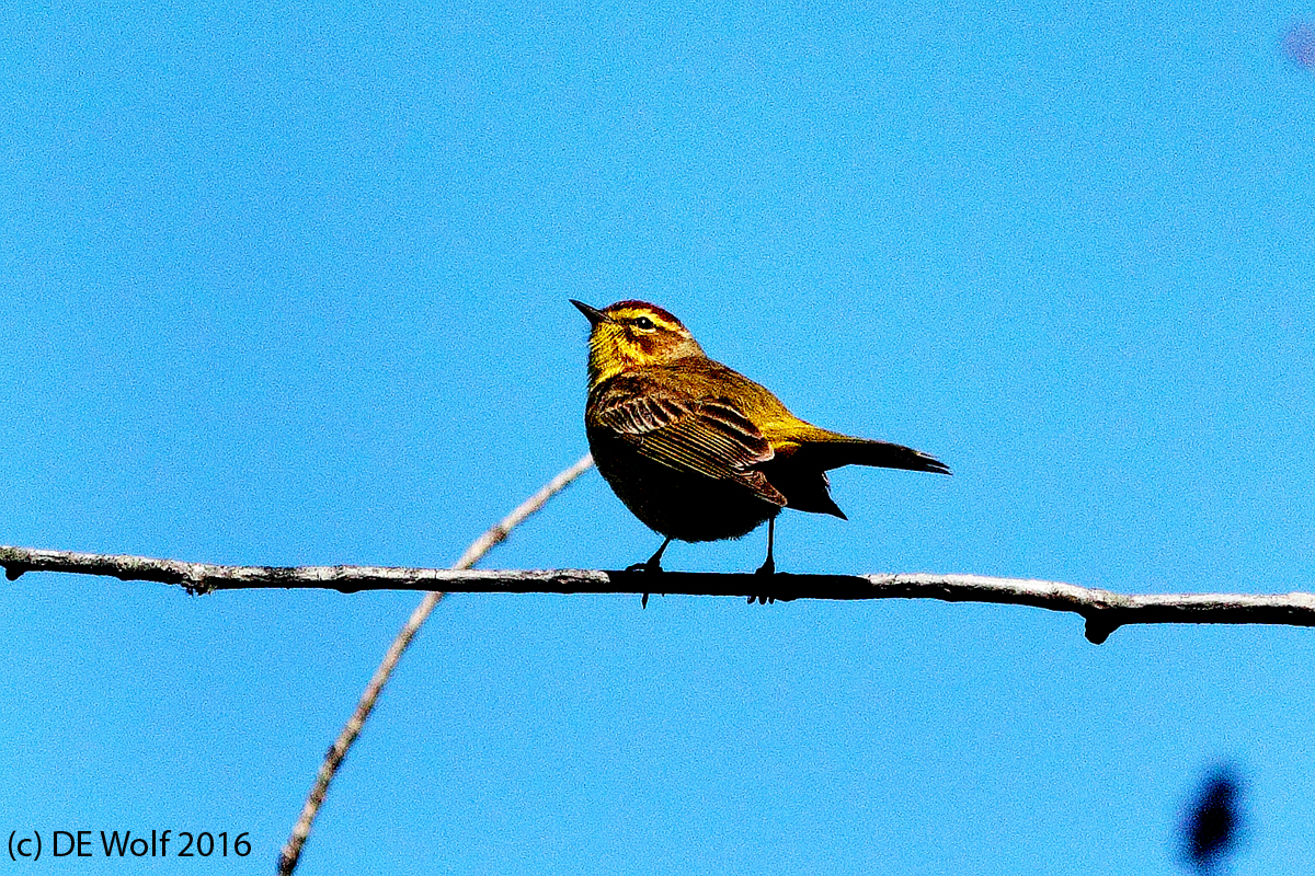 Figure 1 - Palm warbler, Assabet River Wildlife Refuge, Sudbury, MA. (c) DE Wolf 2016.