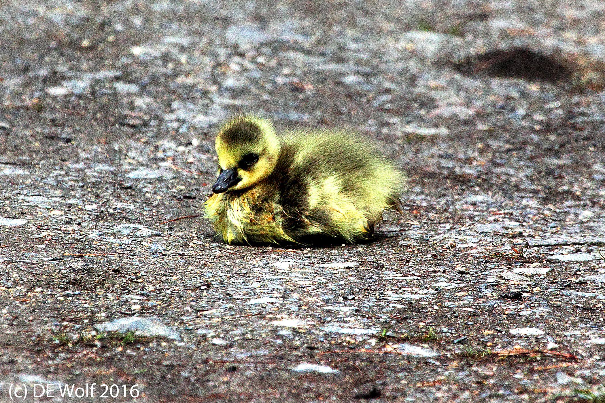 Newly hatched Canadian goose, Sudbury, MA (c) DE Wolf 2016.