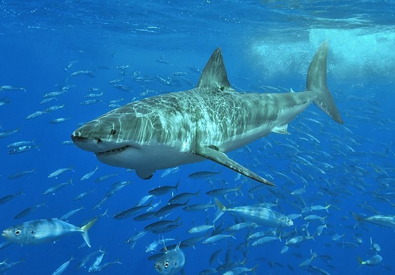 Figure 1 - Great White Shark. Image by Terry Goss and licensed under the Creative Commons Attribution-Share Alike 3.0 Unported license.