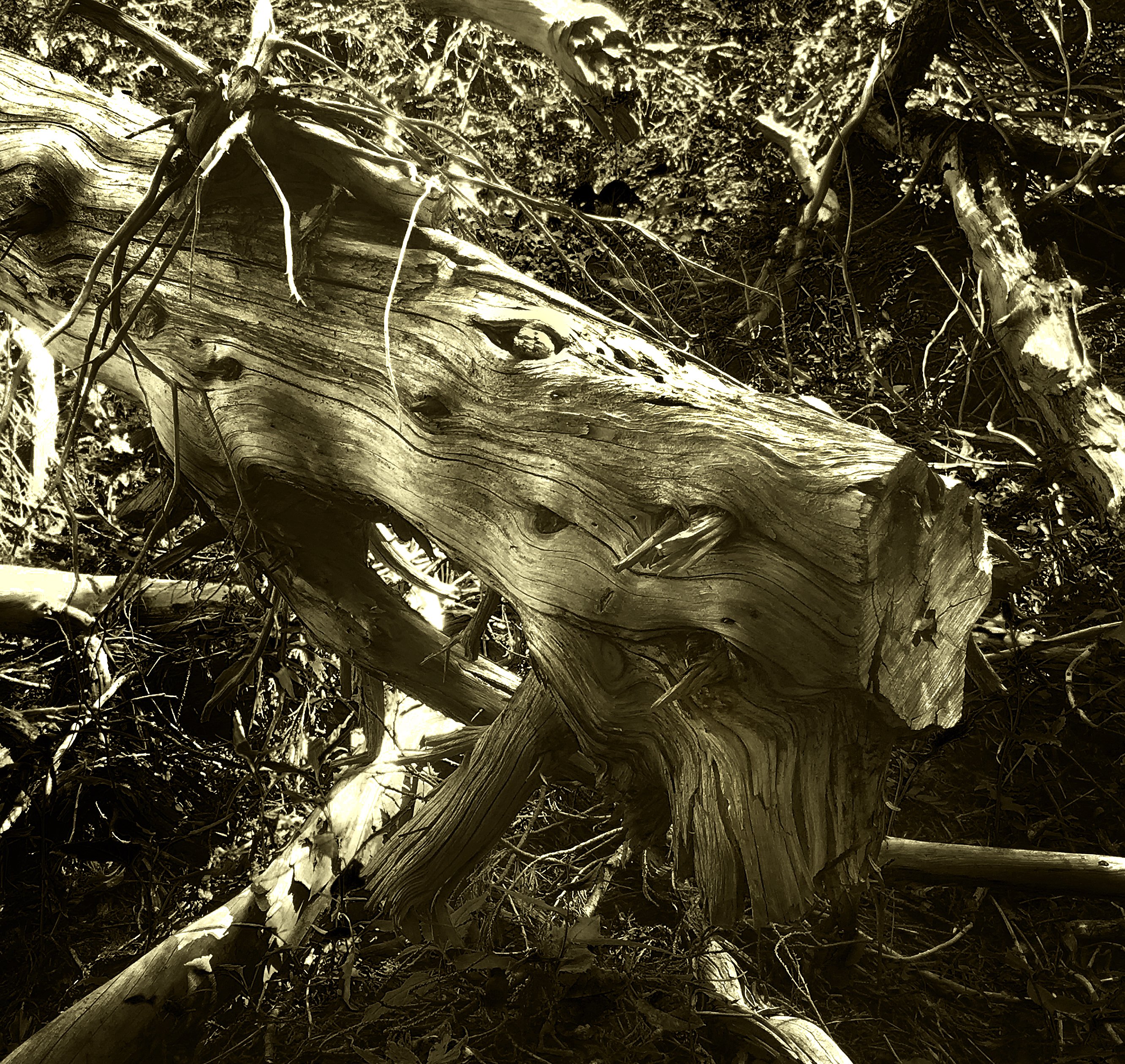 Figure 1 - Dragon in the Olympic National Park, August 19, 2016, (c) AB & DE Wolf 2016.