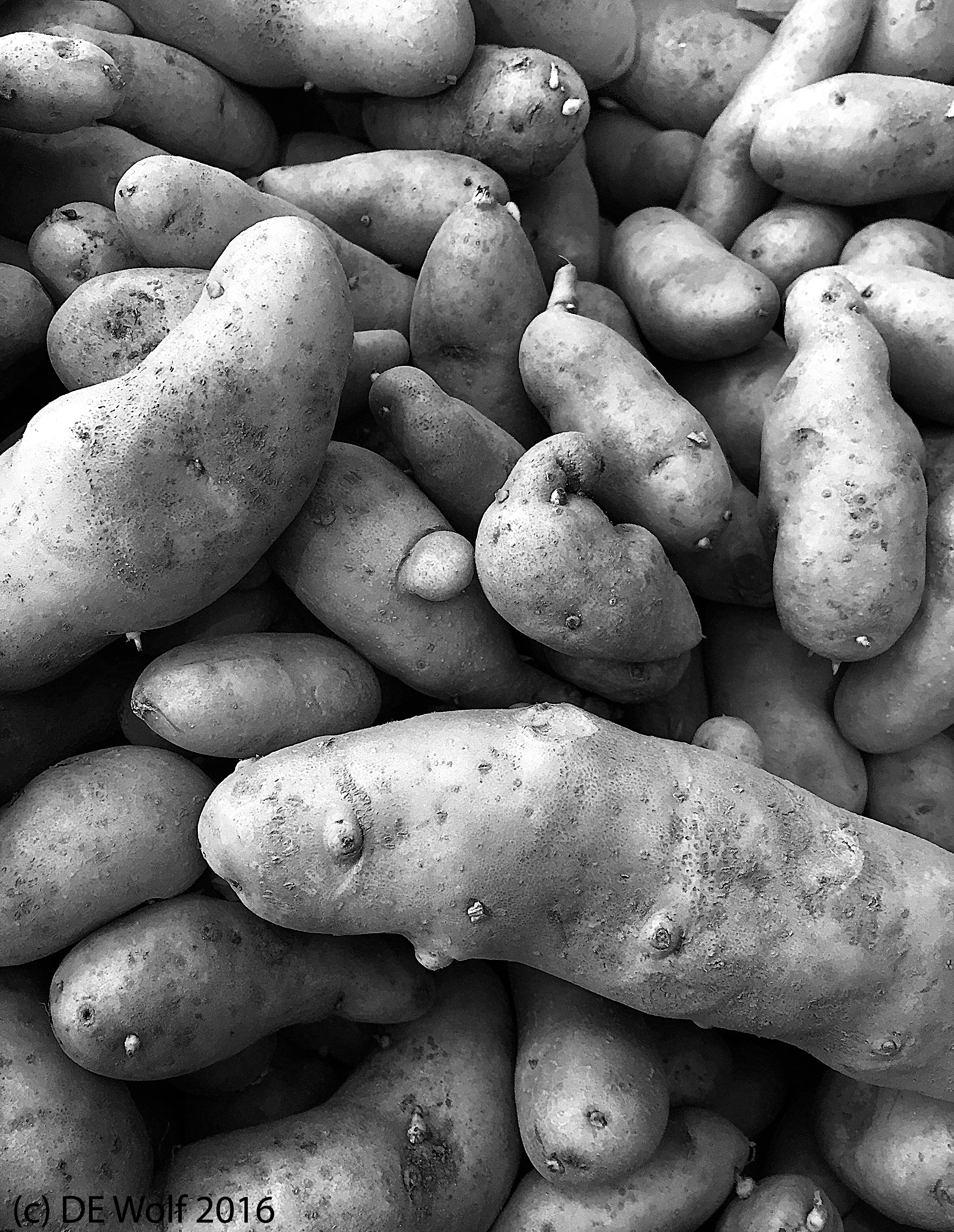 Figures 1 - SPuds. IPhone photograph. (c) DE Wold 2016.