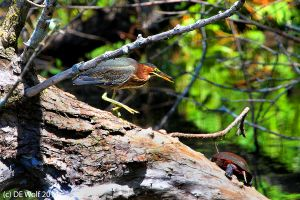 Green heron with turtle
