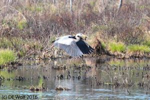 Great blue heron in flight with fish