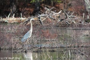 Great blue heron with beaver dam