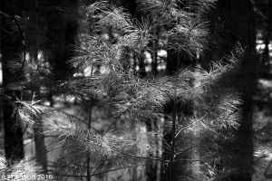 Pine needles on the day of the last snow