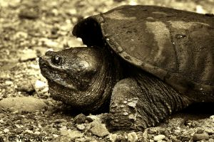 Figure 2 -Common Snapping Turtle Laying Eggs