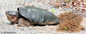 Figure 1 -Common Snapping Turtle Laying Eggs