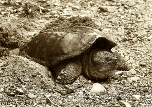 Figure 3 - Common Snapping Turtle Laying Eggs